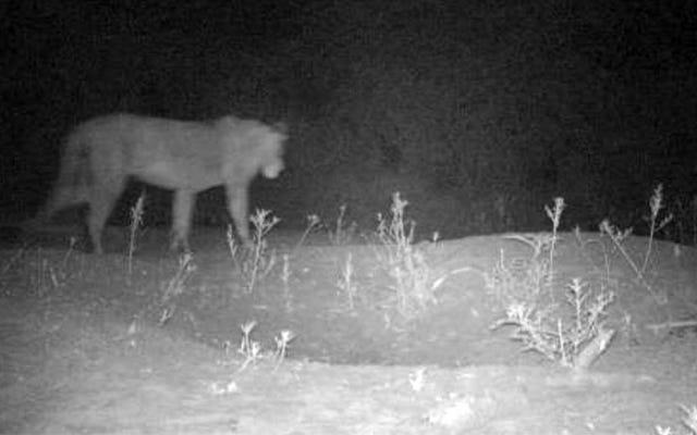 Odkrywają grupę 200 dzikich lwów w regionie, w którym przypuszcza się, że nie było