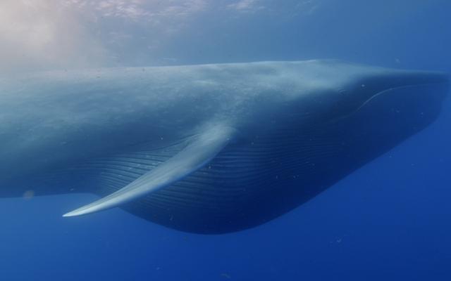 海には非常に多くの騒音があるので、クジラは異なる周波数で通信することを学んでいます