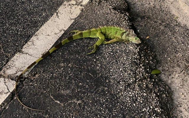 フロリダはとても寒いです、イグアナは空から落ちています