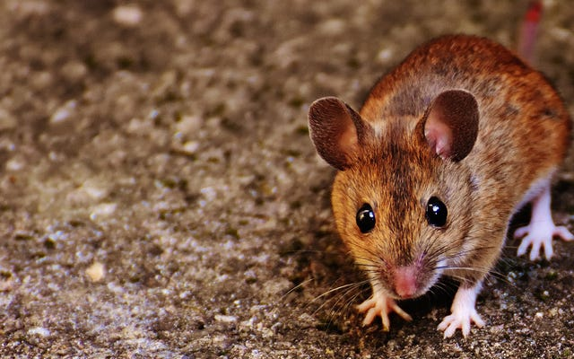 चूहे एक लंबे समय के लिए मनुष्यों से दूर चले गए हैं