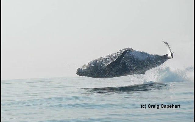 このザトウクジラが週末に飛び込むのと同じ熱意で水から飛び出すのを見てください