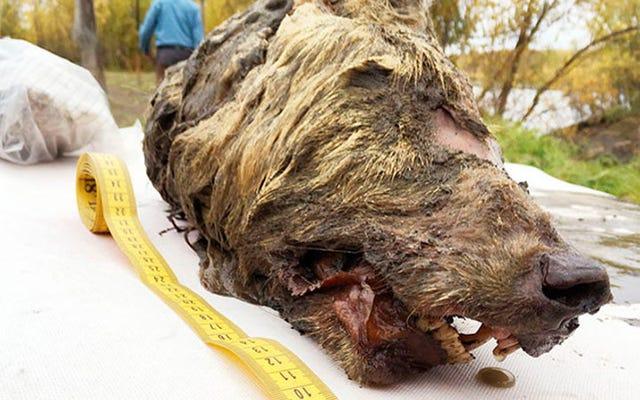 シベリアで発掘された3万歳のオオカミの巨大で毛むくじゃらの頭