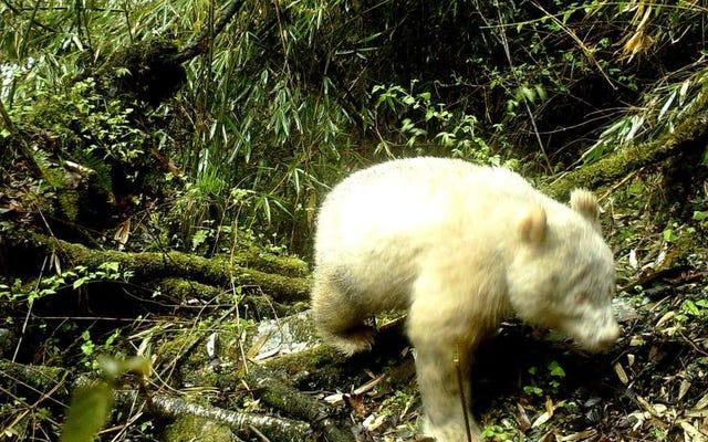 Ini adalah foto pertama dalam sejarah panda raksasa albino