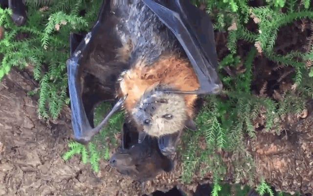 オーストラリアの残忍な熱波は、彼らが眠ったときに死んだコウモリで木を満たします
