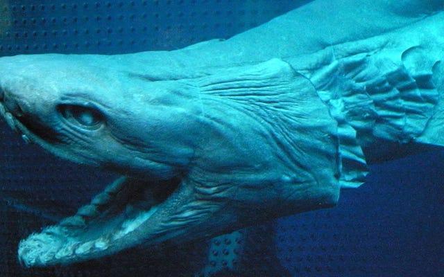 「生きている化石」であるこの素晴らしいサメを見てください