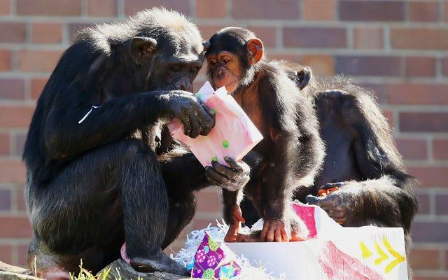 I bambini piccoli e gli scimpanzé condividono un linguaggio non detto sorprendente