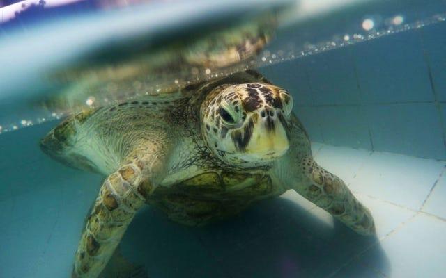 915 Para Yiyen Deniz Kaplumbağası Boşuna Ölmedi
