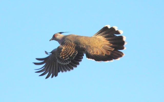 レンジャクバトが口笛を吹く翼で警報を鳴らす