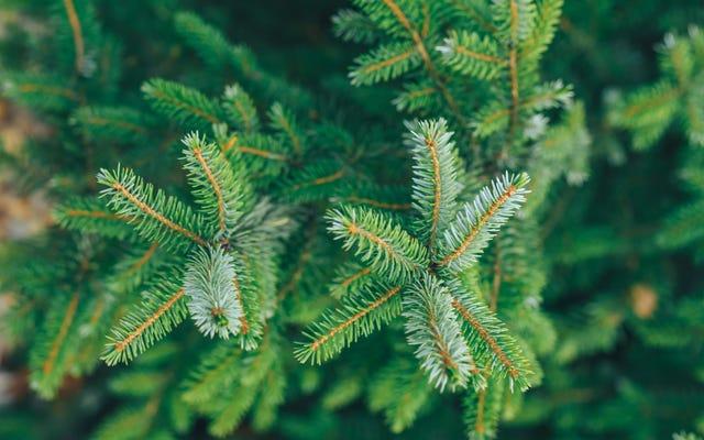 Come individuare e sbarazzarsi di insetti che potrebbero essere presenti nel tuo albero di Natale
