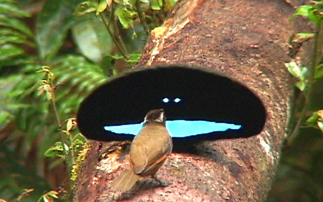 これらの鳥はとても暗い羽を進化させました、彼らは「ブラックホール」のようです