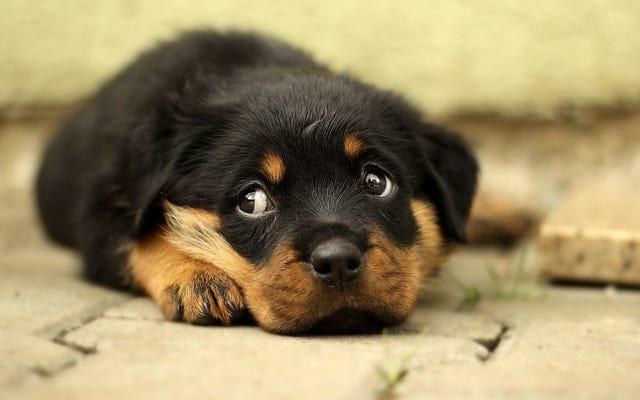 Chó con trong cửa hàng thú cưng đang lây lan bệnh tiêu chảy gây siêu vi khuẩn cho con người