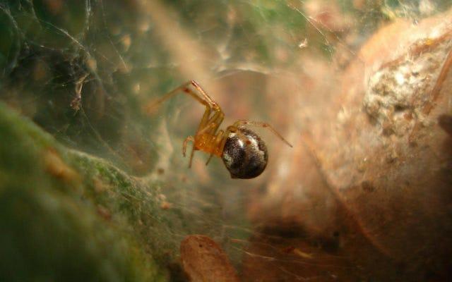 Gli uragani e il cambiamento climatico potrebbero rendere i ragni più aggressivi