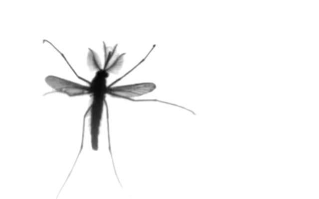 वैज्ञानिकों ने पाया कि मच्छर की उड़ान किसी और चीज के विपरीत है