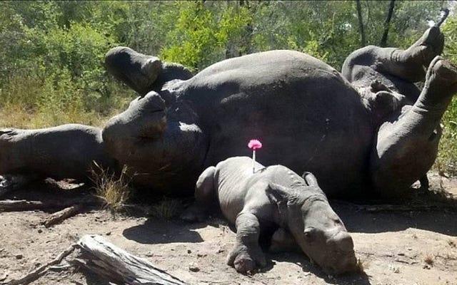 Salvano un cucciolo di rinoceronte attaccato a colpi di machete dai bracconieri mentre cercavano di difendere sua madre