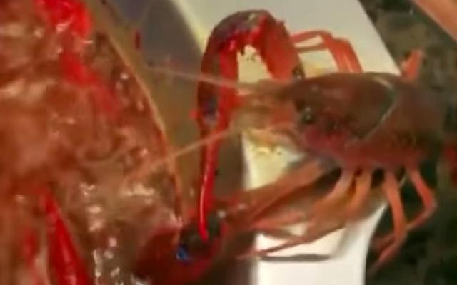 彼らは、沸騰したお湯の鍋から逃げるために自分の爪を切断するクレイフィッシュを撮影します