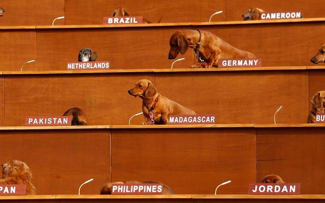ドイツには現在ダックスフント博物館があり、それによって国は7%気まぐれになっています