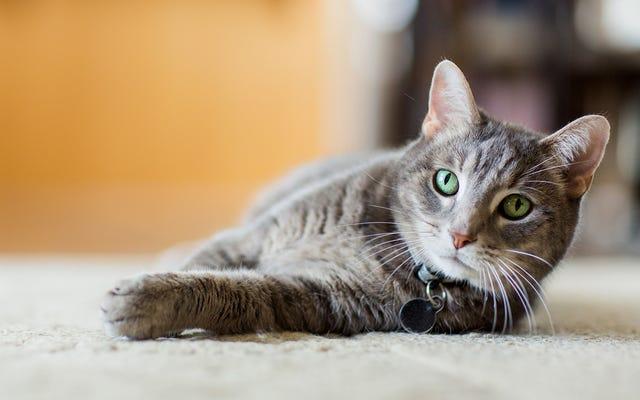 実生活でマウスを見た最初の経験のために猫を準備するトレーニングの量はありませんでした