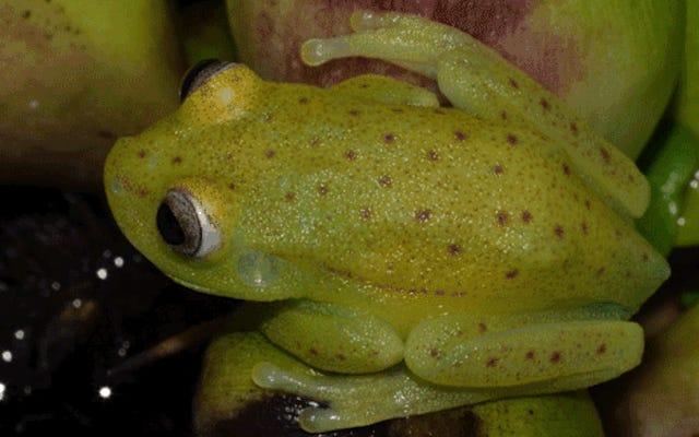 この不思議は、地球上で最初に見つかった蛍光カエルです