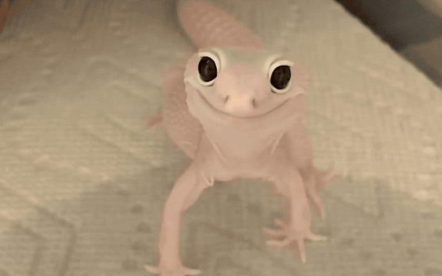 このバイラルビデオでカメラに微笑んでいるように見える奇妙なアルビノトカゲは実際には何ですか
