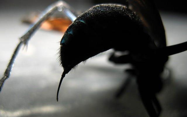 このハチの刺し傷はとても痛いので、科学の唯一の推奨は「横になって悲鳴を上げる」です。