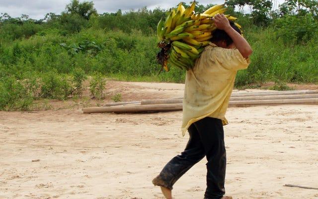 Un gruppo indigeno famoso per la salute del cuore ha iniziato a usare l'olio da cucina e ha iniziato ad aumentare di peso