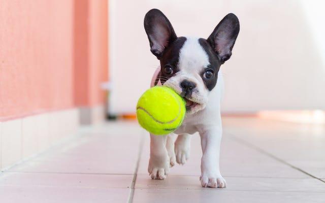 टेनिस बॉल्स के साथ अपने कुत्ते को खेलने न दें