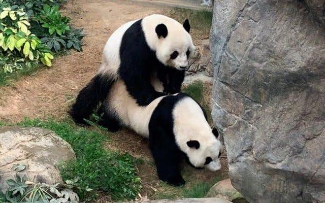 Sabato sera sociale: almeno i panda stanno scopando