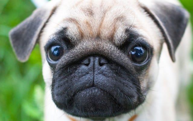 เจ้าของสุนัขร้องปลอมดังนั้นนักวิจัยจึงสามารถยืนยันความจริงอันหอมหวานเกี่ยวกับลูกสุนัขของเราได้