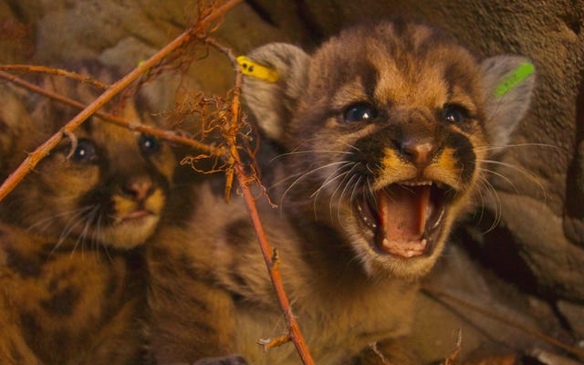 なんてこった、私はこれらのマウンテンライオンの子猫が大好きです