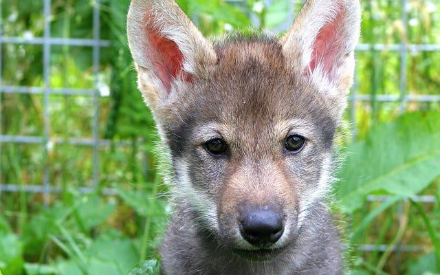 Sorprendente experimento sugiere que los cachorros de lobo pueden jugar a buscar