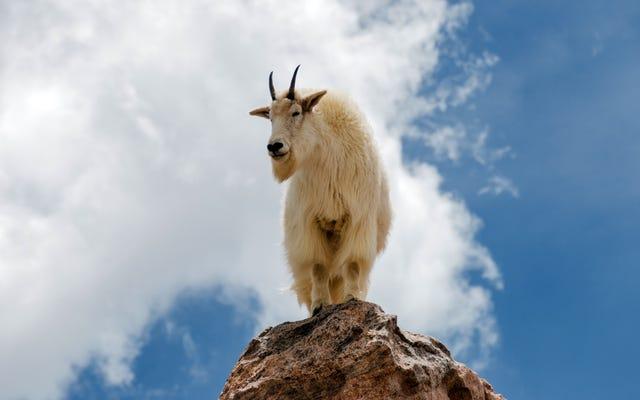 Любимые говорят с козой, стоящей на краю горы