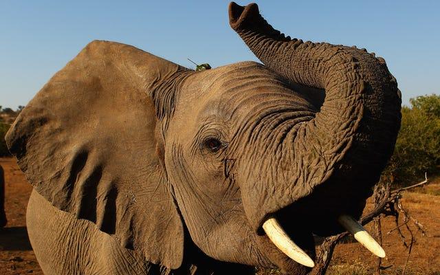 En un intento por hacer todas las cosas horribles imaginables, la administración Trump ahora viene por los elefantes [ACTUALIZACIÓN]