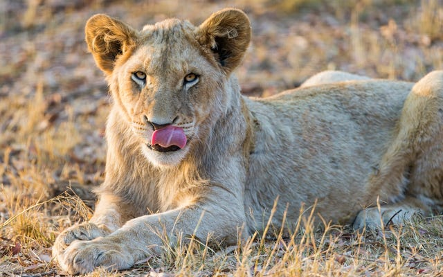 Un gruppo di bracconieri irrompe in una riserva in Sud Africa e viene mangiato dai leoni