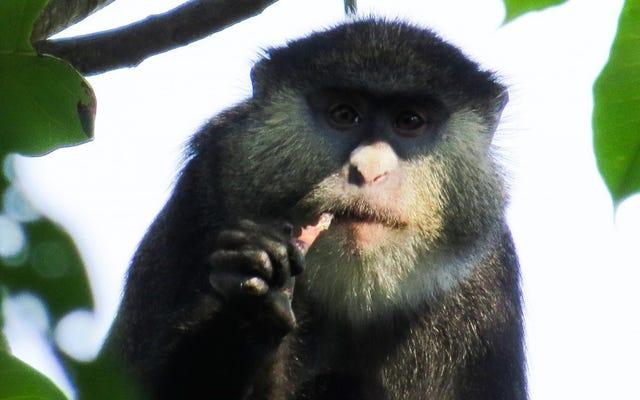 アフリカのサルが初めてコウモリを食べるのを捕まえた