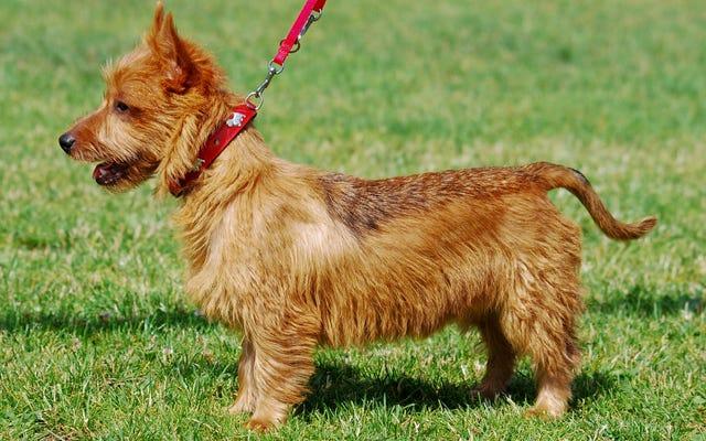 कुत्ते की पूंछ के प्रत्येक आंदोलन का क्या मतलब है, वीडियो पर समझाया गया है