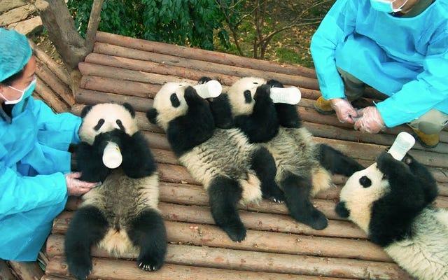 誰かパンダを注文しますか?あなたのパンダはここにいます