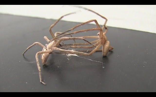 Hier ist das christliche Grau der Spinnen