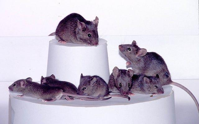 Les chercheurs ont trouvé un moyen d'envoyer de minuscules robots dans le cerveau de souris