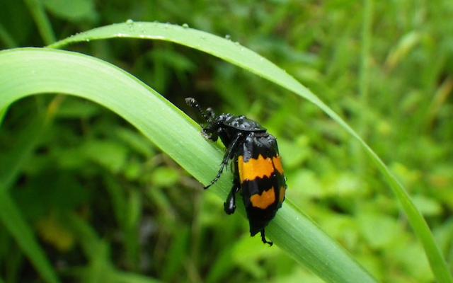 テントウムシは、男カブトムシが子供を育てることに集中し続けるために「抗媚薬」を生産します