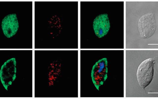 वे माइटोकॉन्ड्रिया के बिना एक यूकेरियोटिक कोशिका की खोज करते हैं, कुछ ऐसा जिसे विज्ञान असंभव मानता है