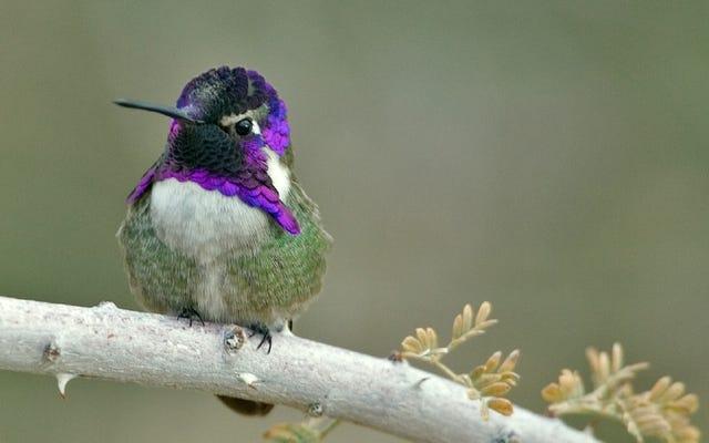 Ces colibris mâles manipulent le son de leur vol pour attirer des partenaires