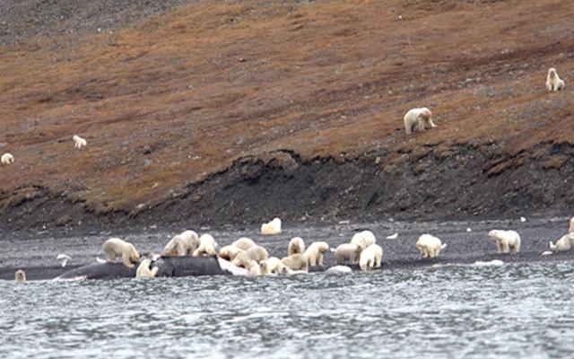 「それを説明する言葉はありません」:観光客はクジラの死骸をむさぼり食う何百ものホッキョクグマを見つけます