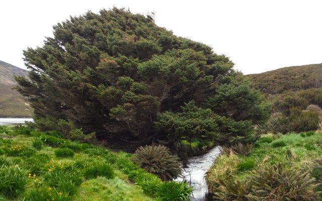 ふさわしく、この悲しい木は私たちの新しい地質学的時代を定義するかもしれません
