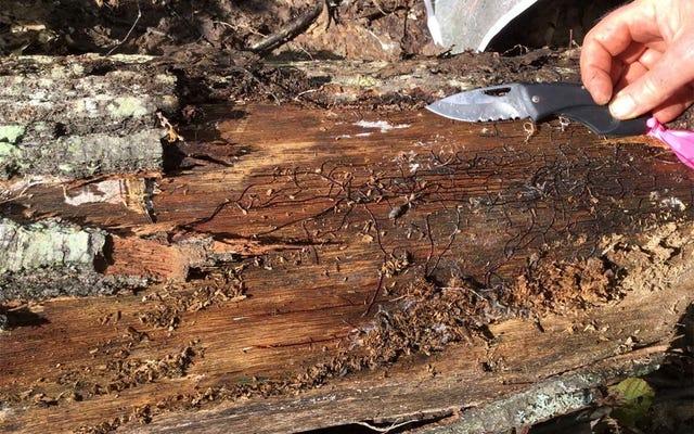 मिशिगन वेट्स 440 टन में बड़े पैमाने पर फंगस और 2,500 साल पुराना है