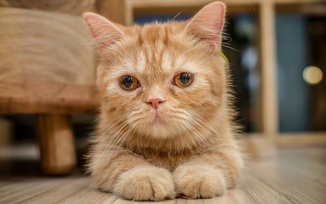 Cat Cafe cierra temporalmente porque todos los gatos fueron adoptados