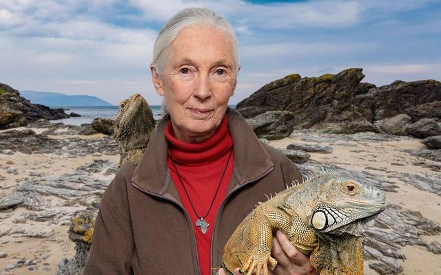Jane Goodall ogłasza, że teraz wszystko o jaszczurach