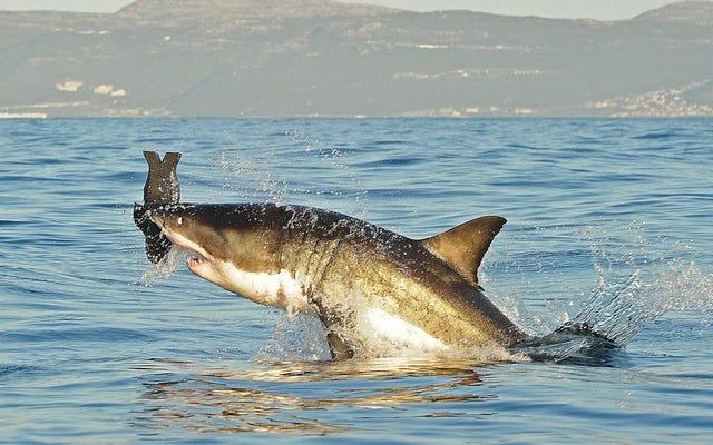 世界は50年間でサメの70%を失いました