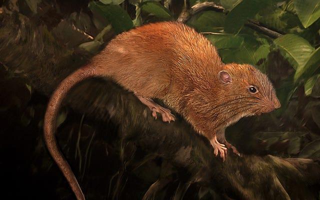 ソロモン諸島の巨大な樹木に生息するネズミがついに西洋の科学者を発見しました