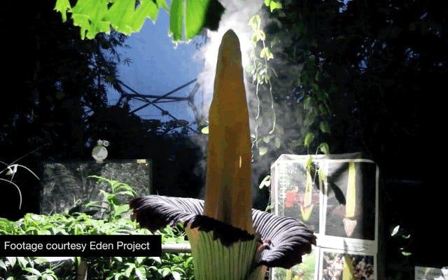 死の匂いがする植物(そしてそれが生き残るために悪臭をどのように使用するか)