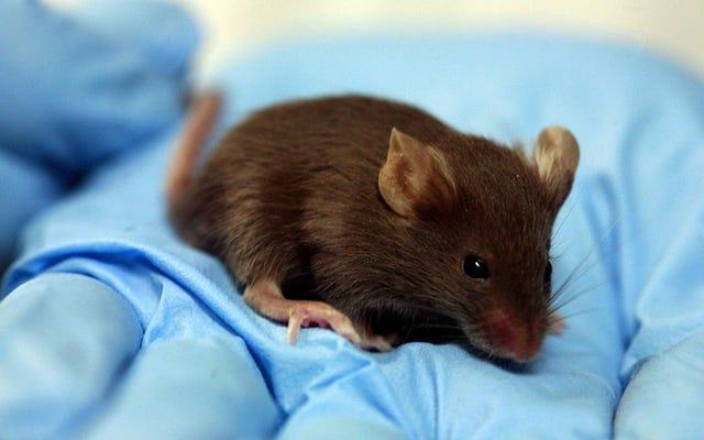 一部人間の脳を持つ齧歯動物は生命倫理に新たな挑戦をもたらす